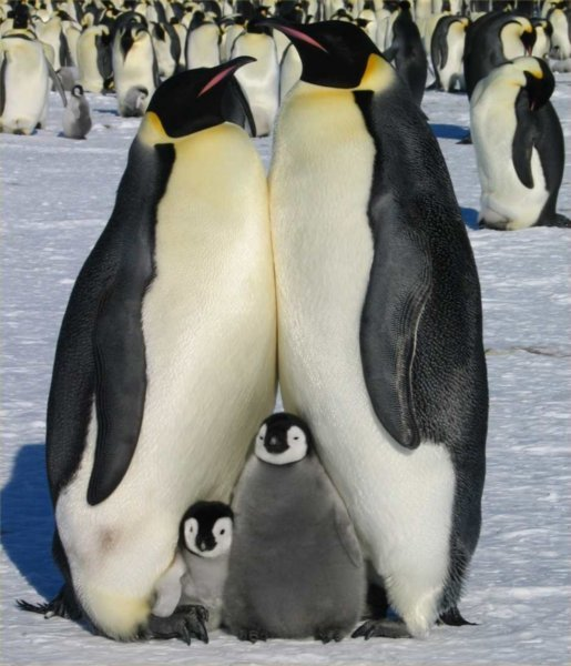 1784421-Emperor-penguins-and-Chicks-0