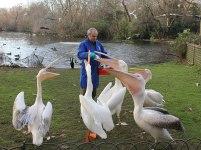 pelicans-being-fed
