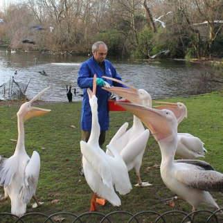 pelicans-being-fed