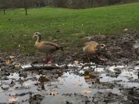 Kenwood Ducks