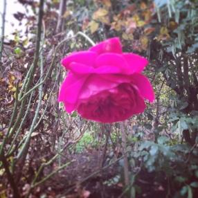Kenwood Winter Rose