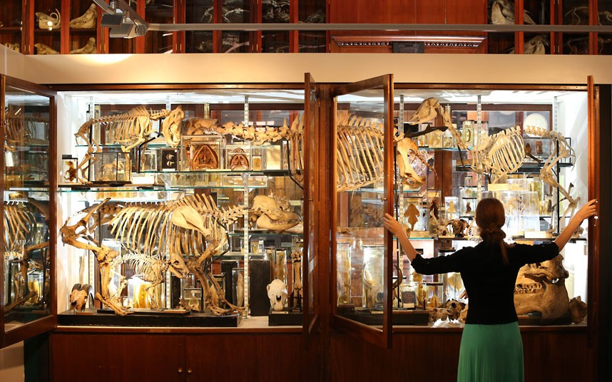 The Grant Museum Of Zoology Houses A Collection Of Weird And Wonderful Artefacts...LONDON, ENGLAND - SEPTEMBER 04: Employee Emma-Louise Nicholls checks the display cabinets at The Grant Museum of Zoology on September 4, 2012 in London, England. Containing 67,000 specimens, the Grant Museum of Zoology is the only one of it's kind in London. Started as a teaching collection in 1828 the collection displays only about 5% of all the specimens it holds. (Photo by Peter Macdiarmid/Getty Images)