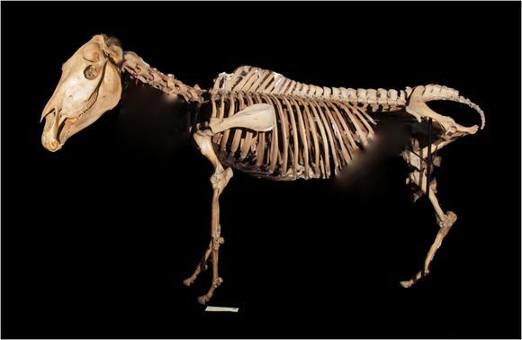 Z581-Quagga_skeleton-1