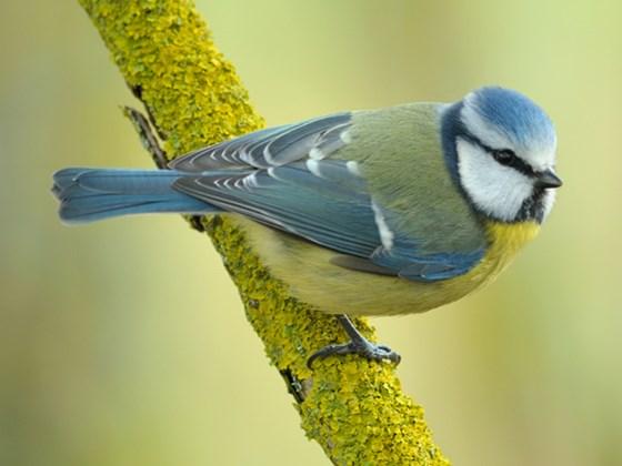 bluetit-northeast-wildlife