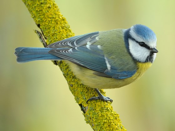 bluetit-northeast-wildlife